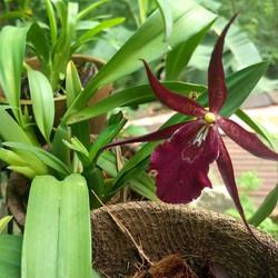 Oncidium Orchids at Augusta's Garden. _#