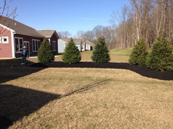 Mulch Mound with Norway Spruces