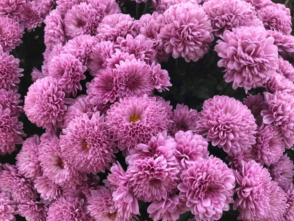 Closeup to Purple Mum
