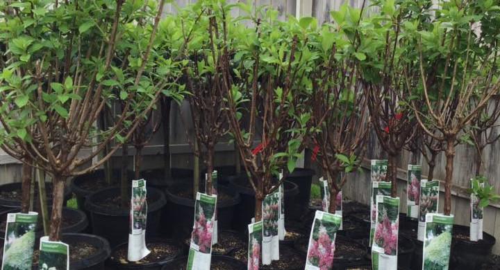 Pinky Winky & Limelight Hydrangea Trees