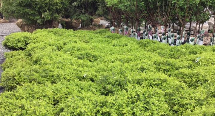 Evergreens: Boxwoods, Hemlocks, Arbs
