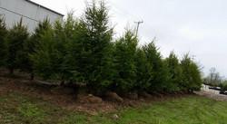 Norways & Canaan Fir & Hemlock Trees 8'-10'