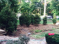 Lots of Norway Spruces & landscaping Work & stone wall 2