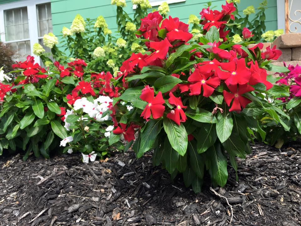 Vincas with Hydrangeas in Background