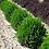 """Thumbnail: Green Velvet Boxwood 15""""-18"""" 3 gal"""