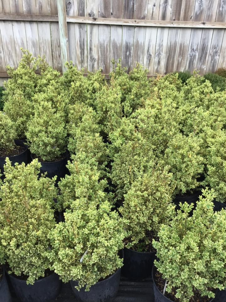 Variegated Boxwoods