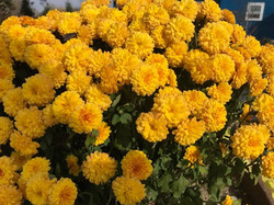 Yellow Closeup Mum