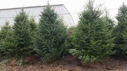 Canaan Fir 8'-9' Trees