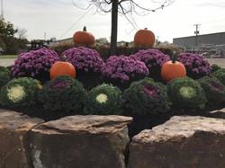 Ornamental Cabbage & Mums & pumpkins FALL