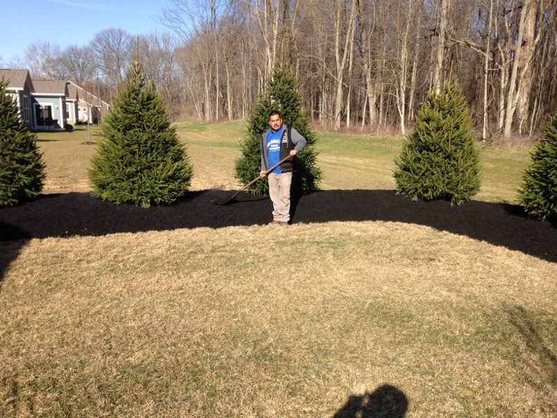 Mulch Mound with Norway Spruces 3