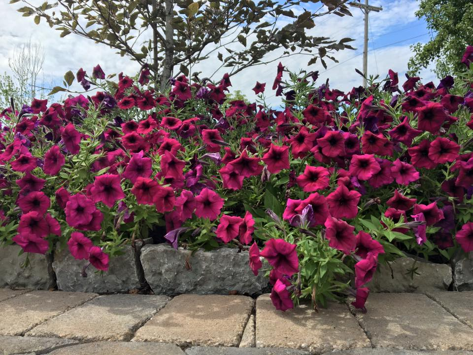 Pink Petunia's at our Office