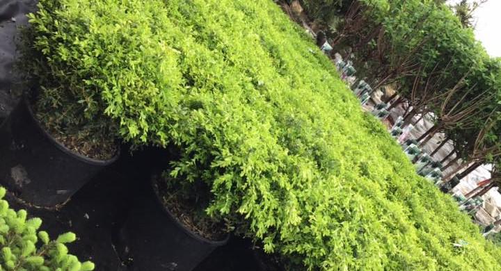 Green Velvet Boxwoods