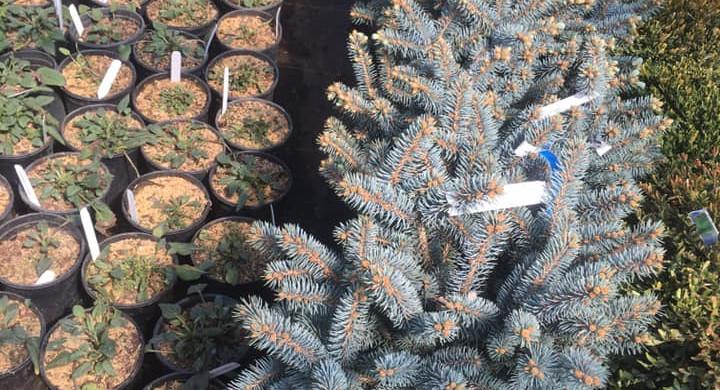 Globosa Blue Spruce Shrubs