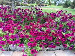 FUll View of Pink Petunias