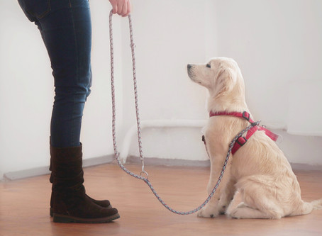 3 ways veterinarians advocate for dogs while training to be an assistance animal