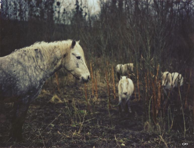 Horses pola