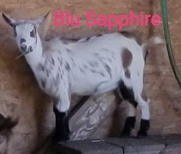 blu sapphire 2020.jpg