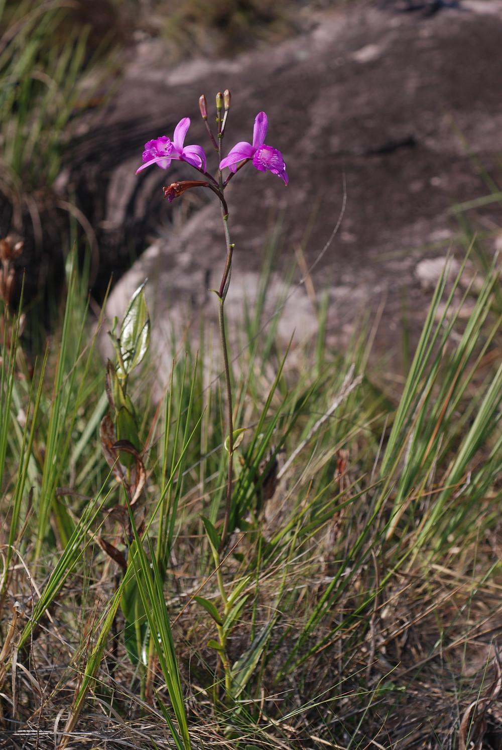 Epistephium sclerophyllum