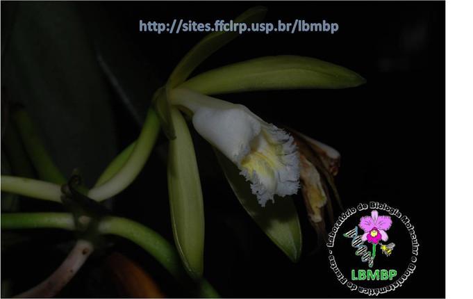 Two new vanillas in the Brazilian Atlantic Forest