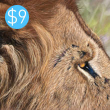 Lion Fur Study
