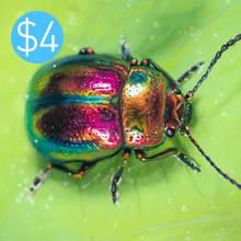Pastel Beetle