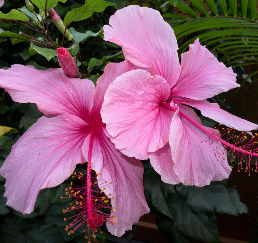 two stunning hot pink hibiscus flowers