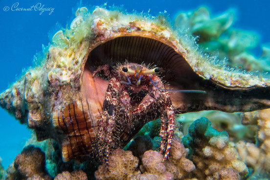 Underwater photo of hairy hermit crab in turquoise blue Indian Ocean Mauritius
