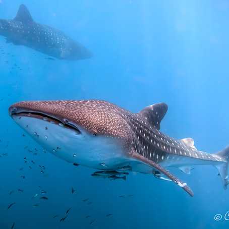 Best Places To Scuba Dive & Swim With Whale Sharks