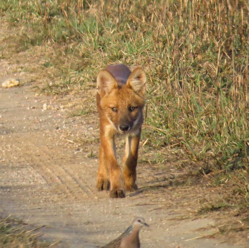 Indian Wild Dog - Dhole