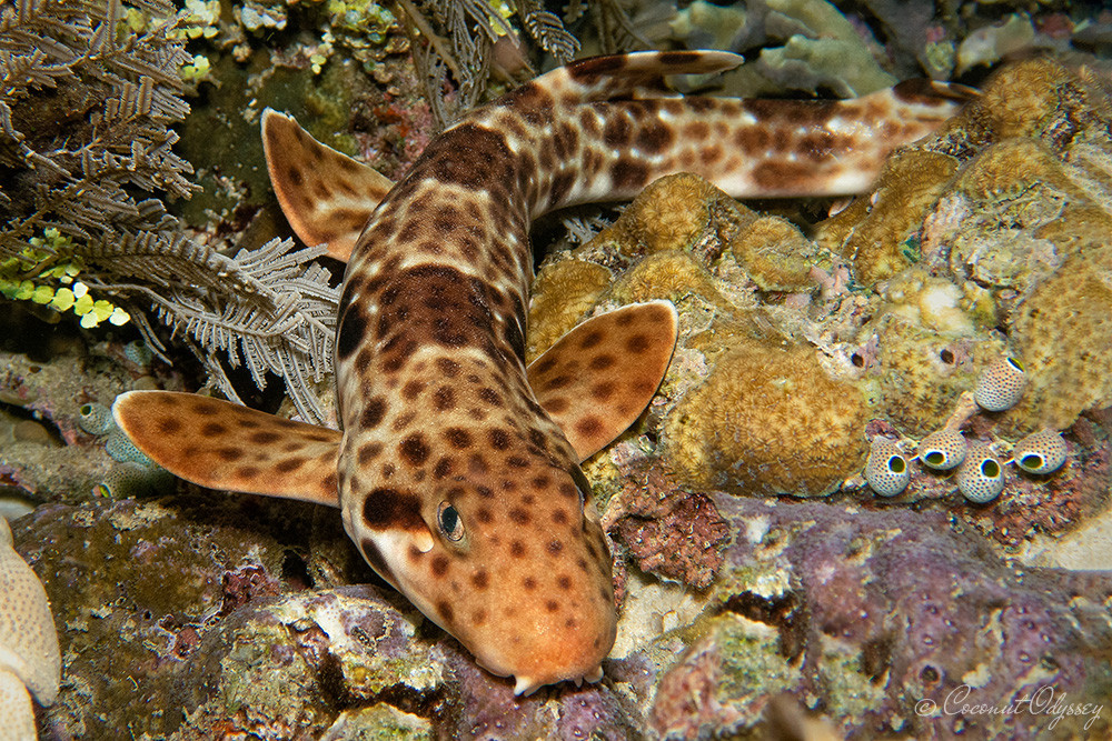 A long striped shark in different shades of brown with dark brown polka dots all over it's body lays on a pile of coral on the bottom of the ocean. The shark has 4 flat fins that have adapted to rotate in such a way that the shark can walk/drag itself across the ocean floor.
