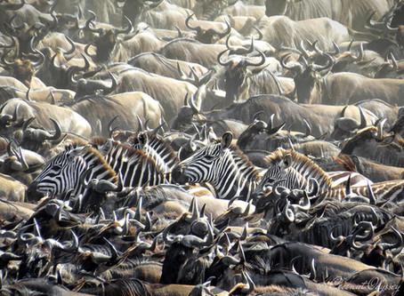 The Great Wildebeest Migration   Serengeti, Tanzania