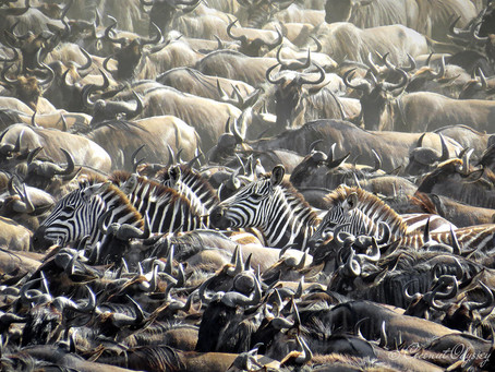 The Great Wildebeest Migration | Serengeti, Tanzania