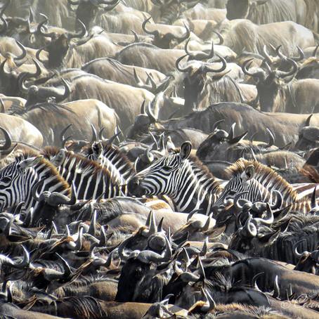 The Great Wildebeest Migration | Serengeti, Tanzania