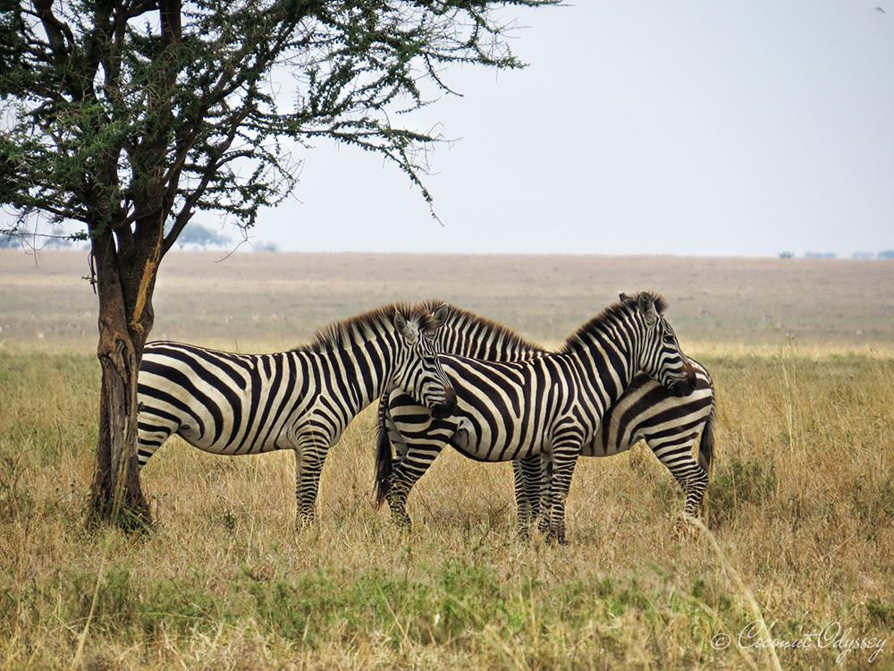 the great wildebeest migration river crossing, safari, Serengeti, Tanzania, Best African Safari, Luxury African safari, Asilia , African Safari , Serengeti animals