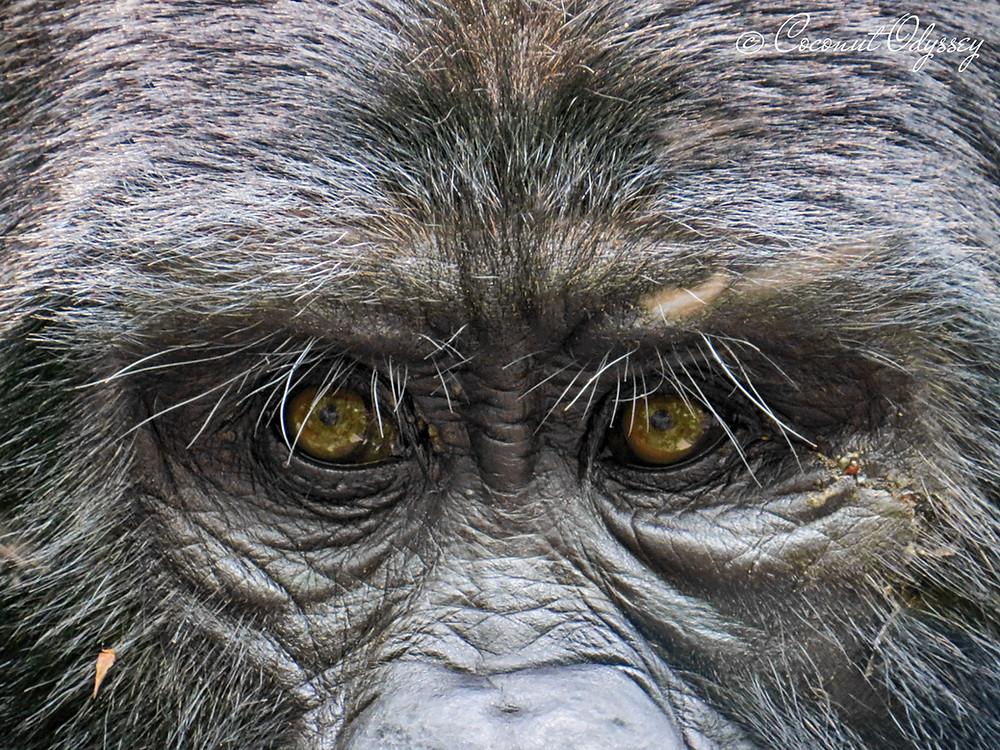 Gorilla Amber Eyes
