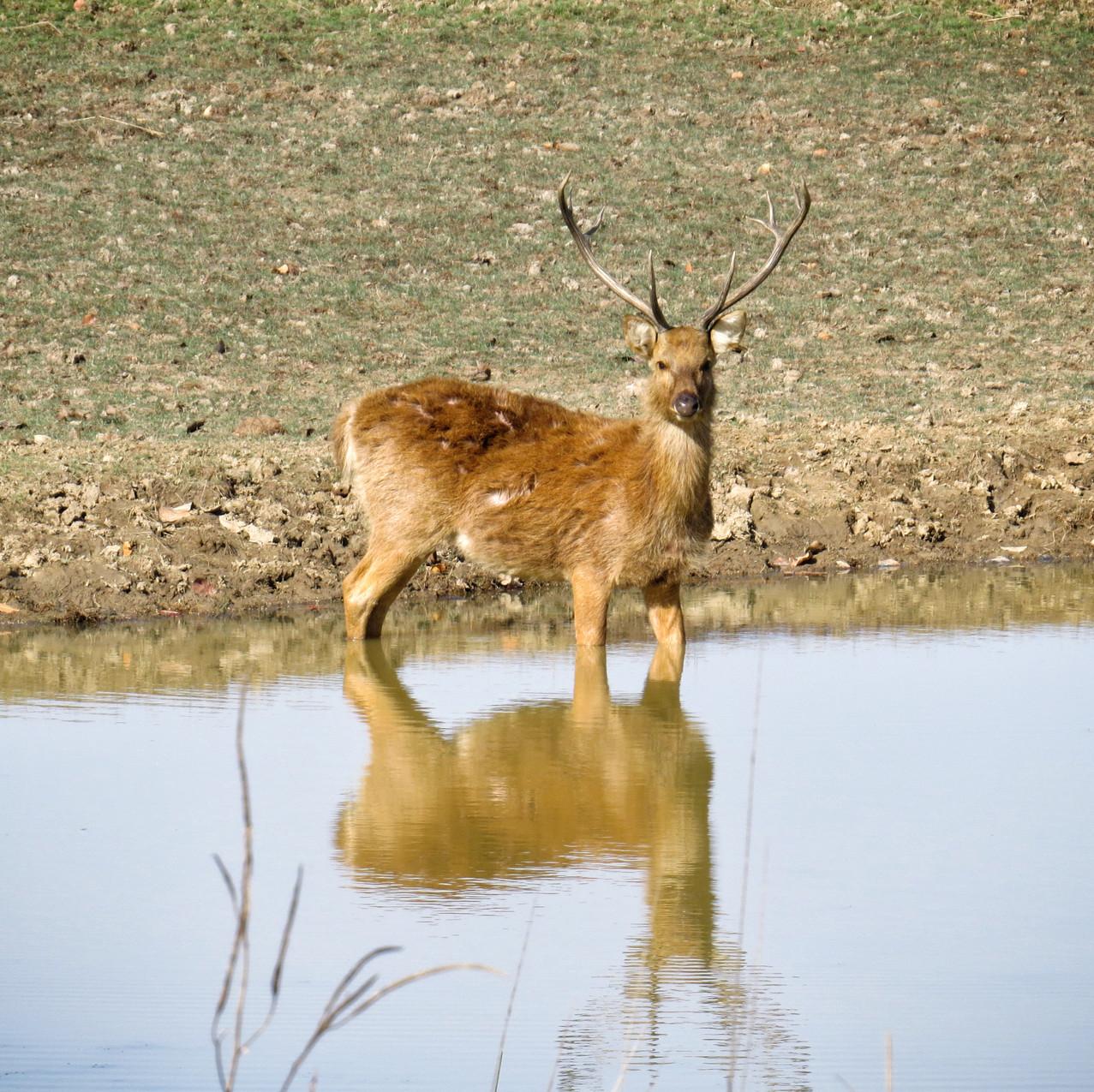 Swamp Deer - Barasingha