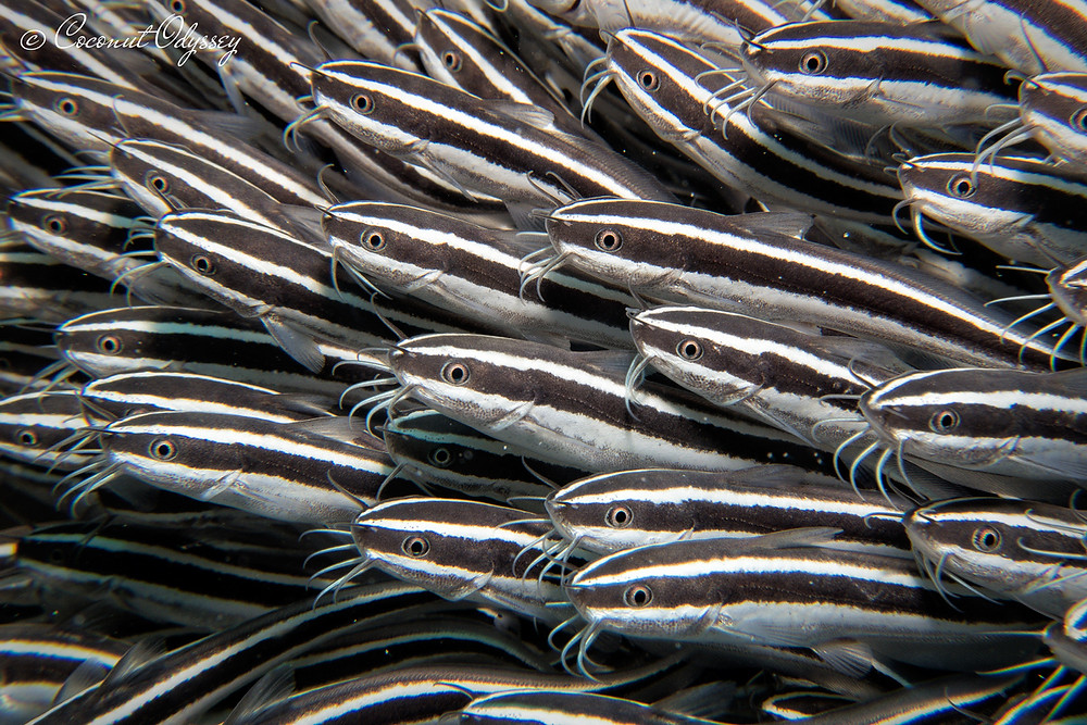 The Striped eel Catfish are often found grouped together underneath overhangs or boulders. They may look cute but don't get too close as their spines are packed with poison!
