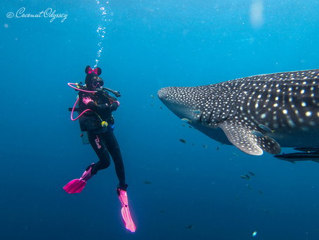 Cenderawasih Bay, Indonesia | Diving With 10m Whale Sharks
