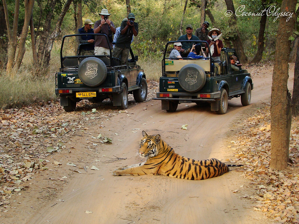 Tiger Safari - Bandhavgarh National Park