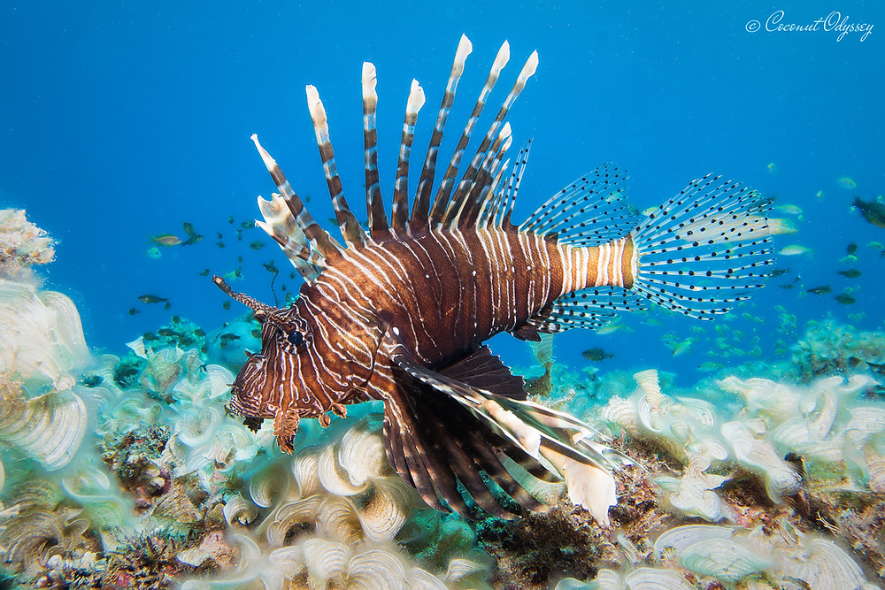 underwater photo of a large poisonous lion fish in turquoise blue Indian Ocean Mauritius