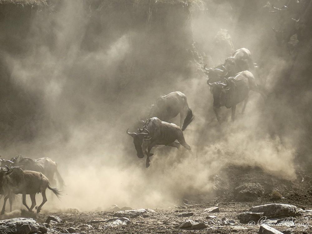 the great wildebeest migration river crossing, safari, Serengeti, Tanzania, Best African Safari, Luxury African safari, Asilia , African Safari , Serengeti animals , wildebeest migration wonder of the world