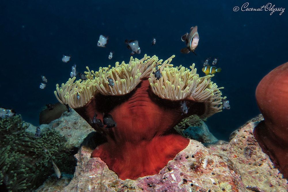 Underwater photo of bright red and yellow anemone and clown nemo fish in Indian Ocean Mauritius