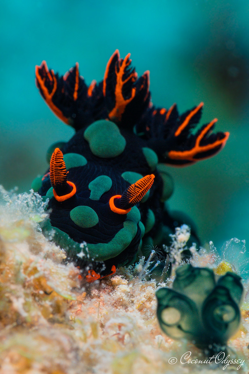 Stunning prize winning underwater photo of a Neon Seaslug better known as the Nembrotha Kubaryana a Dorid Nudibranch. The nudibranch in black with green dots and red accents