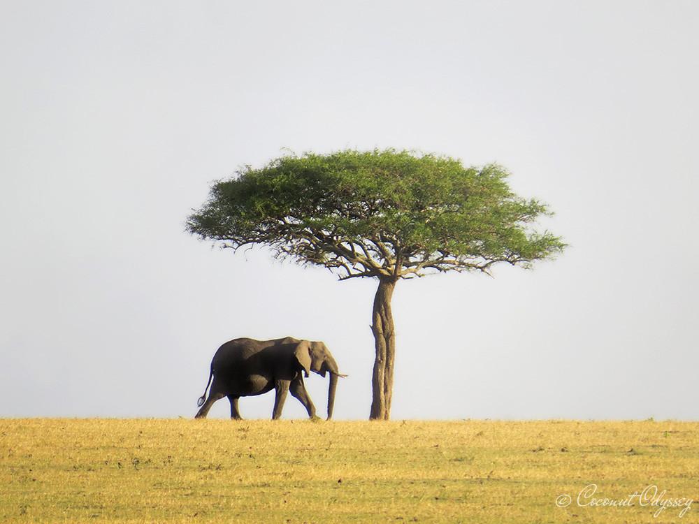 Elephant, big 5 Africa, Serengeti animals , the great wildebeest migration river crossing, safari, Serengeti, Tanzania, Best African Safari, Luxury African safari, Asilia , African Safari