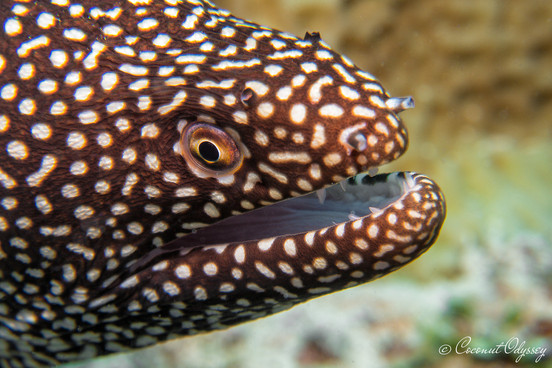 Brown and white spotted moray eel in mauritius