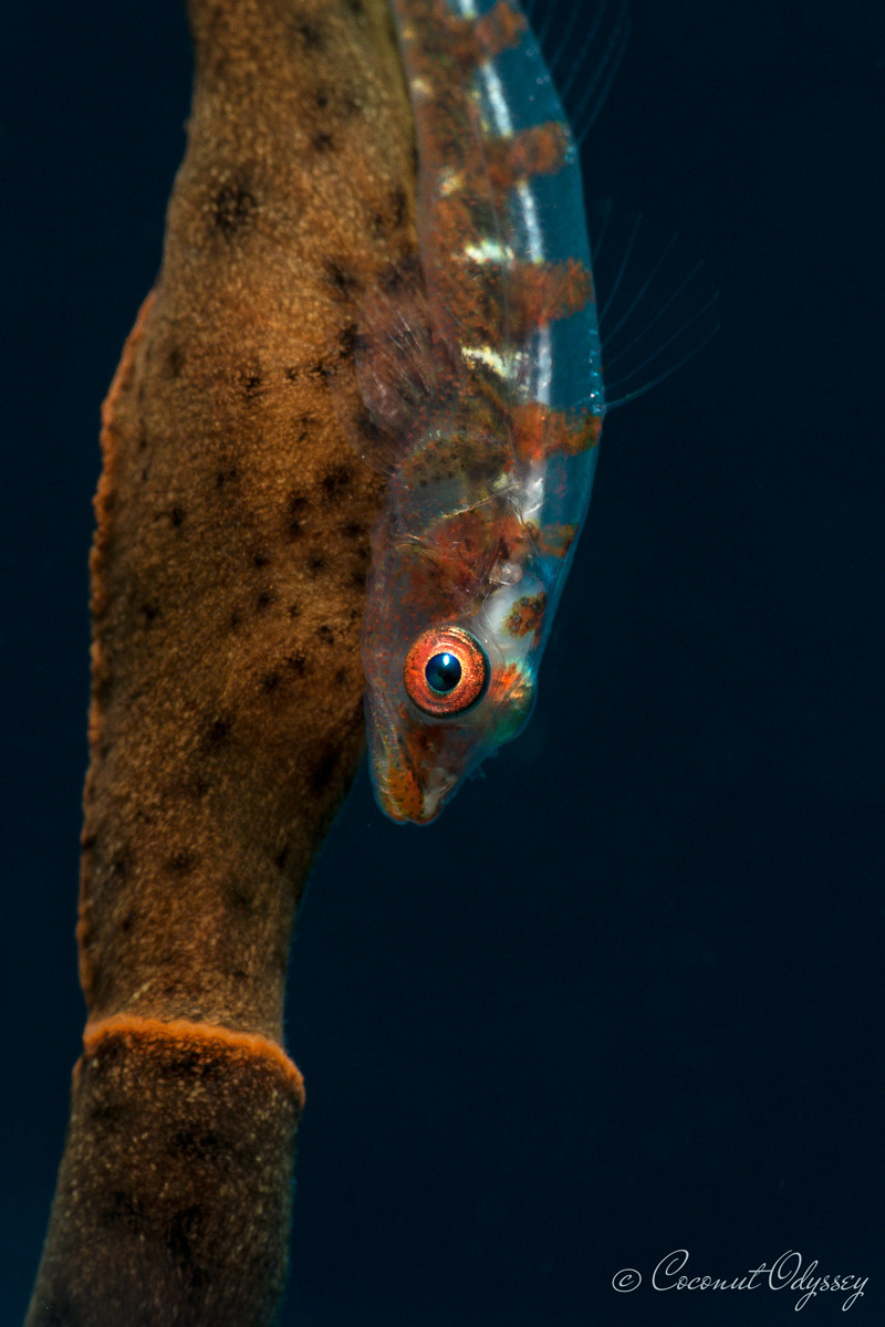 transparent whip coral goby with a orange eye in Mauritius