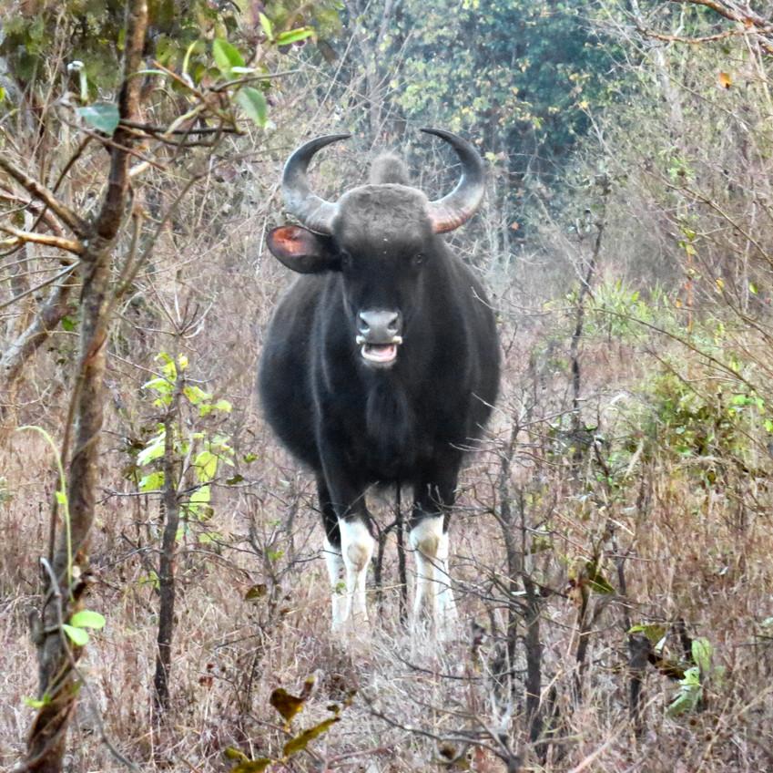 Gaur - Indian Bison