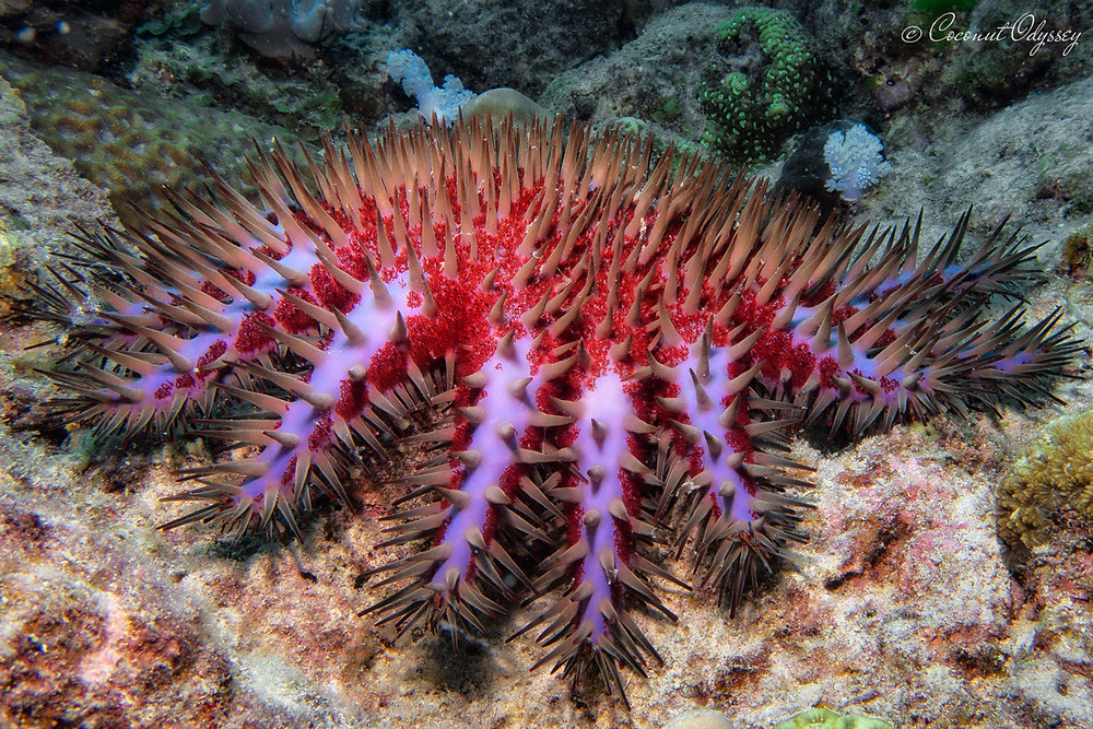 underwater photo of a lilac and red spikey crown of thorns star fish in Mauritius
