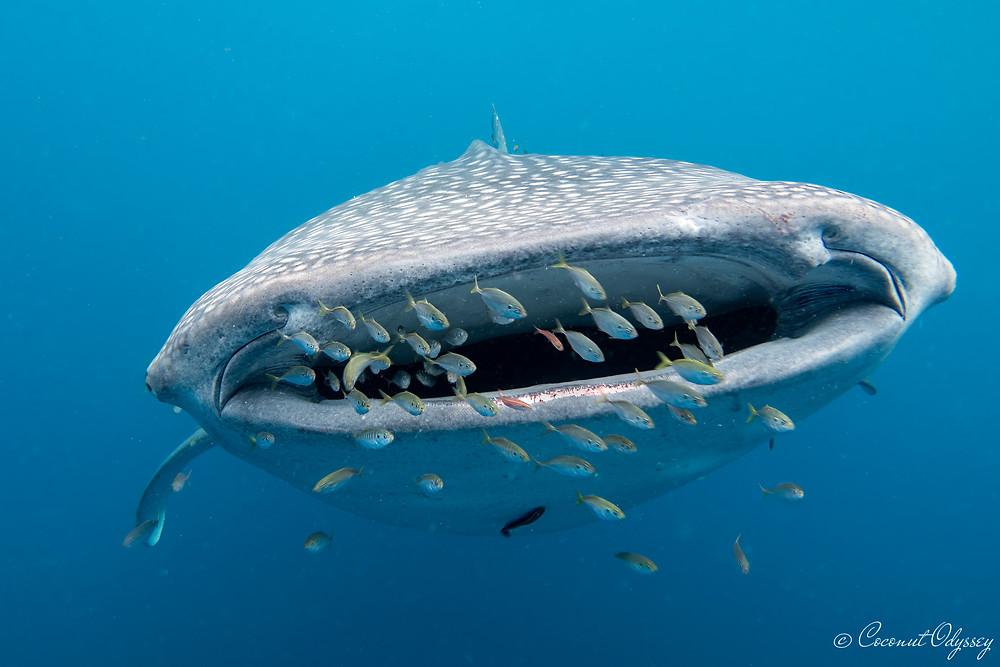 underwater engagement, Georgia aquarium , underwater proposal , whale shark , cenderawashi bay