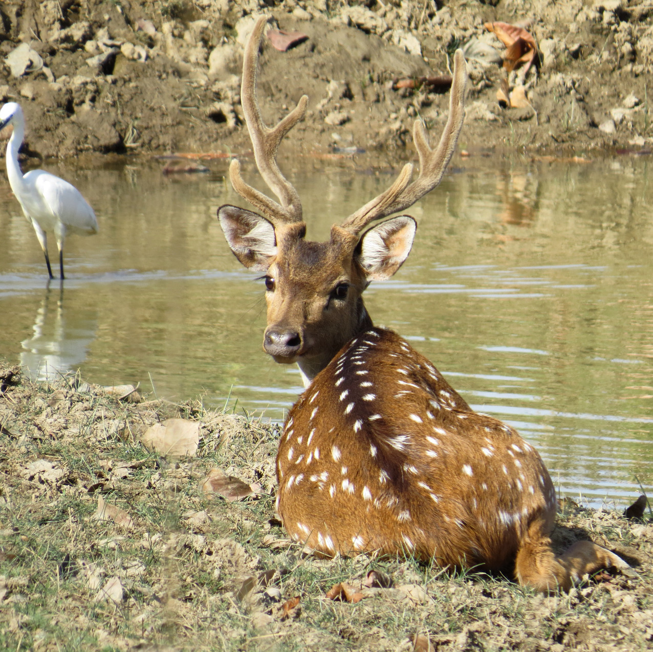 Spotted Deer - Chital